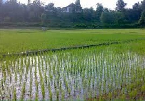 تحقیق درباره بررسی اهمیت آبیاری در کشت شلتوک برنج